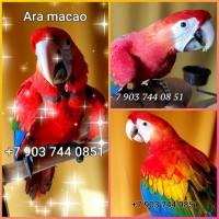 Красный ара (ara macao) - абсолютно ручные птенцы из питомника
