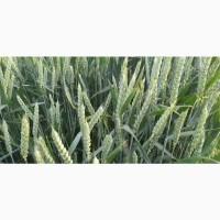 Семена канадской пшеницы Масон, Макино и озимого ячменя Хамбер и Джером, канадские семена