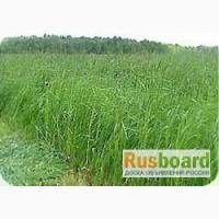 Продам семена многолетних трав Овсяцица от производителя