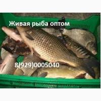 Живая рыба в Волгограде. Куплю оптом рыбу
