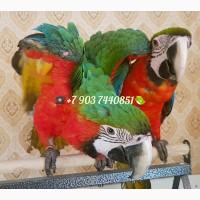 Арлекин (гибрид попугаев ара) ручные птенцы из питомника