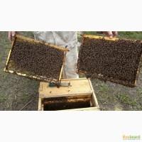 Продажа пчелопакетов Карпатка F1 и Карника 2016 и 2017 года