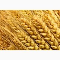 Семена озимой пшеницы Безостая 100, Граф, Кавалерка, Одари