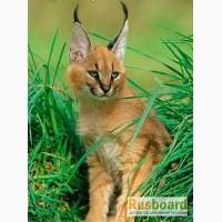 Купить Сервала, Оцелот, Каракал, Кот рыболов, Рысь, Камышовый кот можн