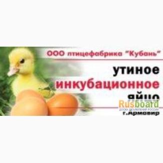 Продаем яйцо инкубационное утиное