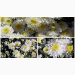 Хризантемы низкорослые