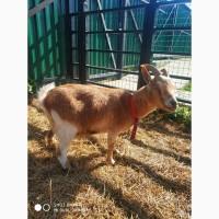 Продам карликовую козу с козленком