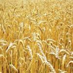 Продаём пшеницу 3 класса