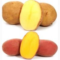Семенной картофель ГОСТ 33996-2016 Супер Супер Элит. без посредников