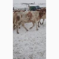 Продаём КРС мясных пород оптом по России и странам СНГ