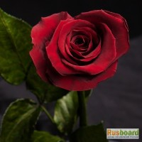 Вечная роза в колбе - хит подарков 2017 года