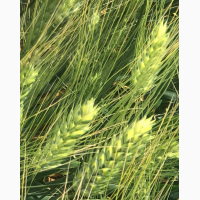 Семена озимой пшеницы сорт Диона ЭС
