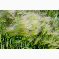 ООО НПП «Зарайские семена» закупает фуражное зерно ячмень от 60 тонн