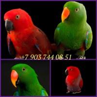 Благородный попугай (Eclectus roratus) - ручные птенцы из питомника