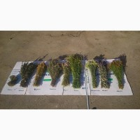 Веники дубовые и лекарственные травы