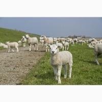 Продаю ягнят мясных пород живым весом. 170 руб/кг