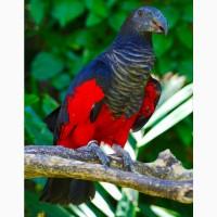 Грифовый или щетиноголовый попугай - ручные птенцы из питомника