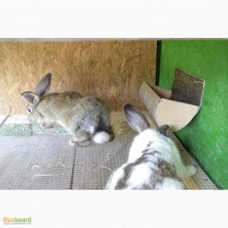 Продаю кроликов на племя. Бахчисарайский район, село Голубинка