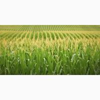 Закупаем фуражное зерно кукурузу от 40 тонн