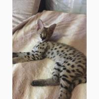 Ручной котенок Сервала