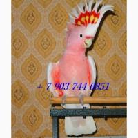 Какаду инка (Cacatua leadbeateri) - абсолютно ручные птенцы из питомника