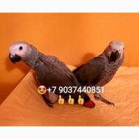 Жако - птенцы из питомника