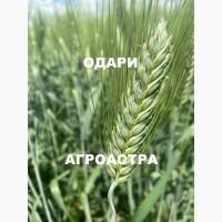 Семена озимой твердой пшеницы сорт Одари ЭС