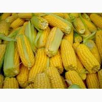 Семена кукурузы гибриды СКАП 302 СВ, РОСС 140 СВ, Краснодарский 507 АМВ и др