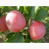 Яблоко оптом.от 10 тонн 1-2 сорт.Со своего сада