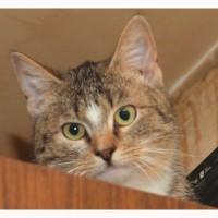 Яркий пятнистый котенок девочка Чика. Внешность шотландки, темперамент бенгала! 7 месяцев