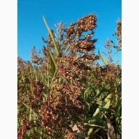 Семена суданской травы на посевную 2021