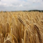 Продаём пшеницу 5 класса