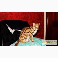 АЛК азиатский леопардовый кот продам котят