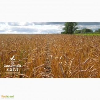 Пшеница яровая сорт «Ирень»