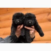 Черные щенки немецкой овчарки