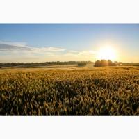 Семена озимой пшеницы Маркиз, Караван, Сварог, Ваня, Граф