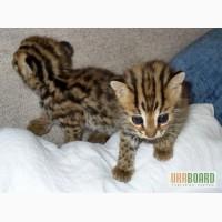 Оцелоты, каракалы, сервала и саванны котята на продажу