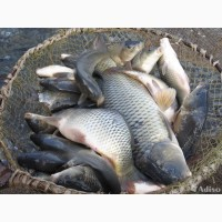 Живая рыба оптом. Толстолобик. Амур. Карась