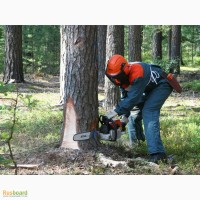 Санитарная вырубка деревьев (пилка, резка, рубка деревьев)