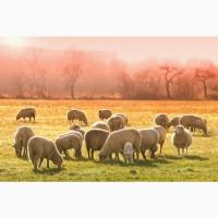 Продаю овец мясных пород живым весом с откорма. 140 руб/кг
