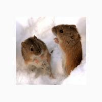 ООО НПП Зарайские семена продает средство от мышей и крысБактокумарин