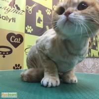 Стрижка кота, груминг кошек в Свиблово. Линька Британца