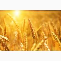 Продаю пшеницу 3 класса от производителя. 16000 руб/тонна