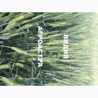 Семена озимой мягкой пшеницы сорт Лидия ЭС/РС1/РС2