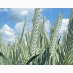 Семена озимой тритикале Тихон, Хлебороб