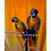 Сине желтый ара ручные птенцы из питомника