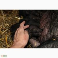 Продаются поросята въетнамской вислобрюхой свиньи