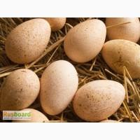 Инкубационное яйцо индейки Биг - 6