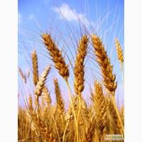 Семена мягкой яровой пшеницы