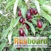 Кизил крупноплодный садовый